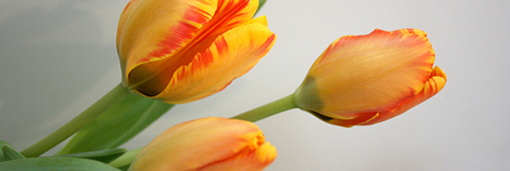 tulip header-sticky