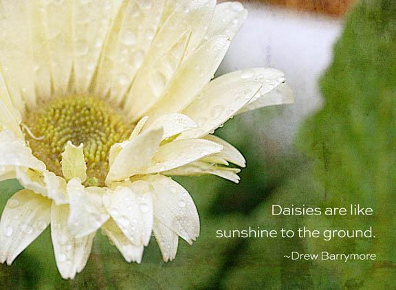 daisy dropletsWWW-72