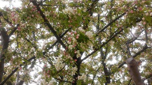 pink-white tree72