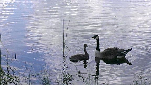 goslings 3 72
