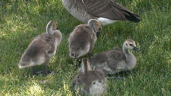 goslings 4 72