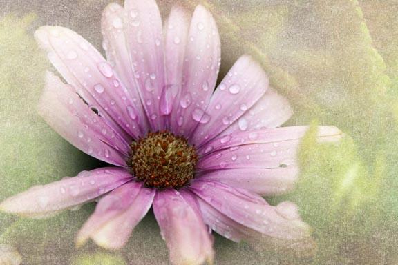 purple daisy-WWW72