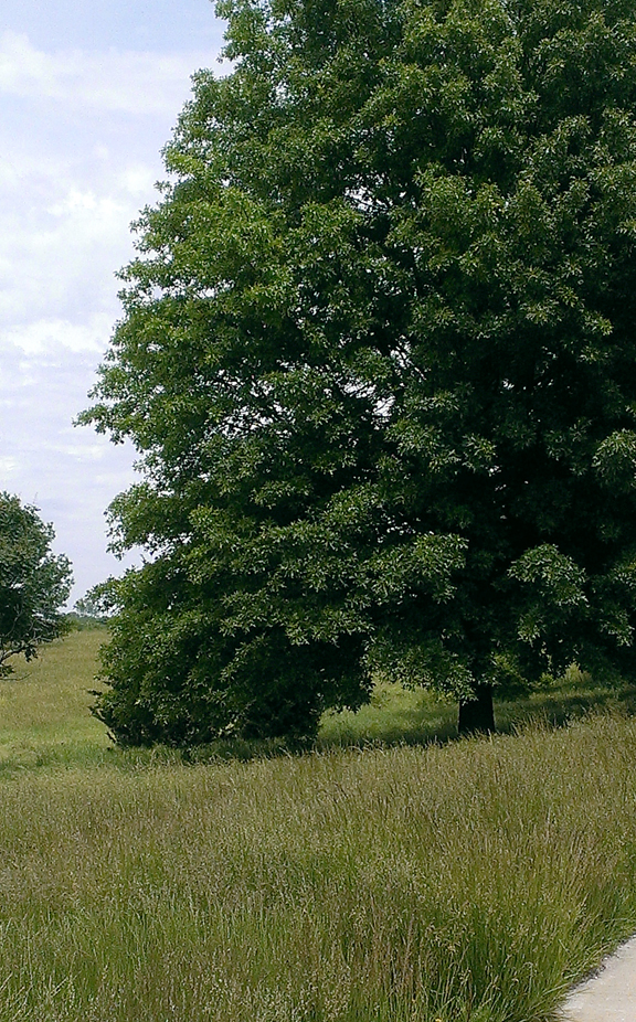 SFPkwy-tree vert