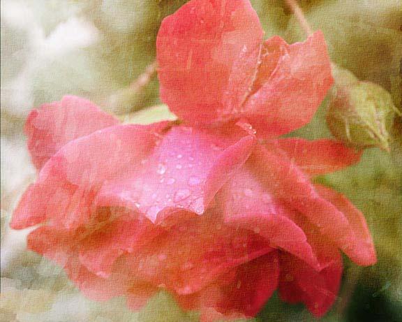 summer rose WWW