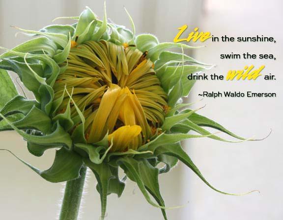 wild sunflower72