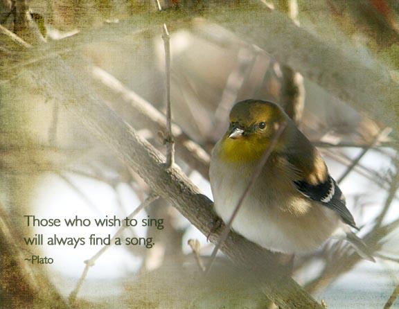 goldfinch-winter