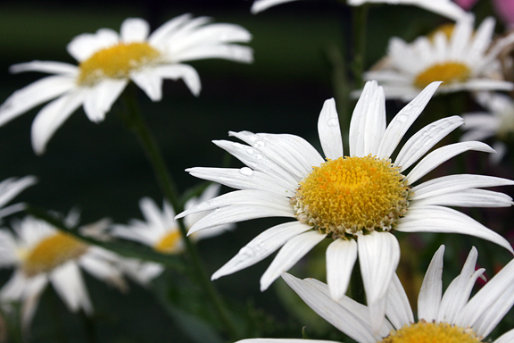 daisy droplets