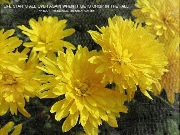 yellow magic mums