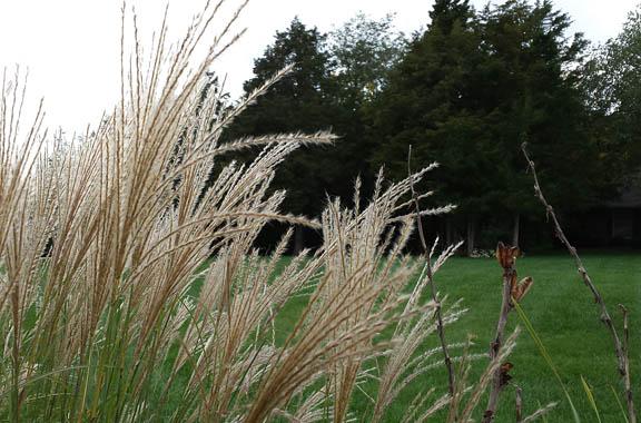 fountain grass
