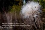 seedhead puff72