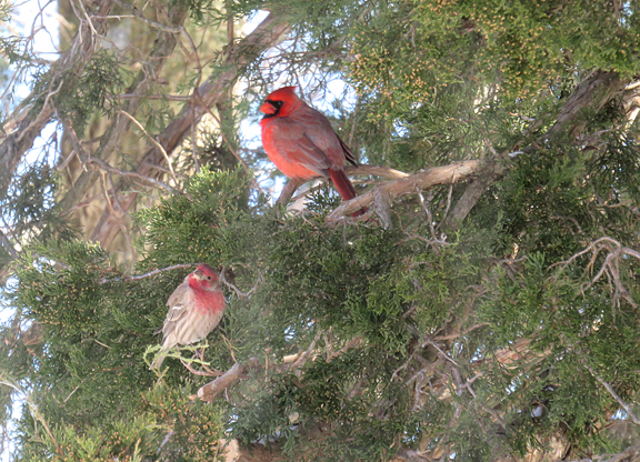 two cardinals