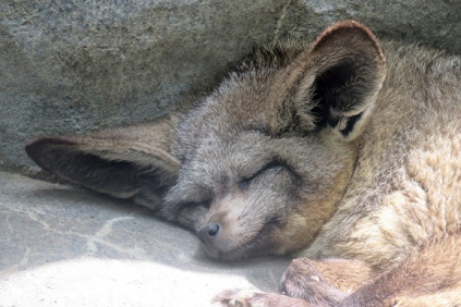 bat ear fox