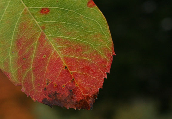 green-red leaf
