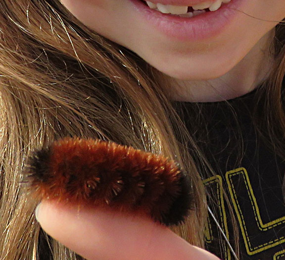 wooly worm