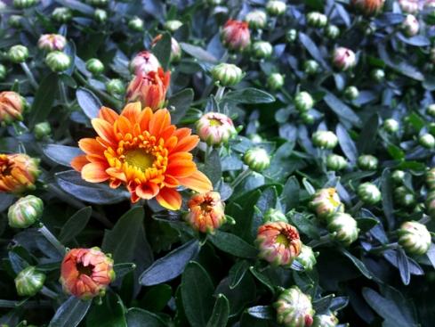 orange-mum