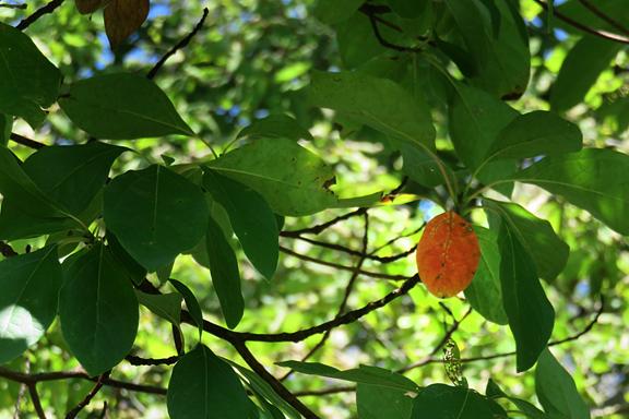 single-red-leaf