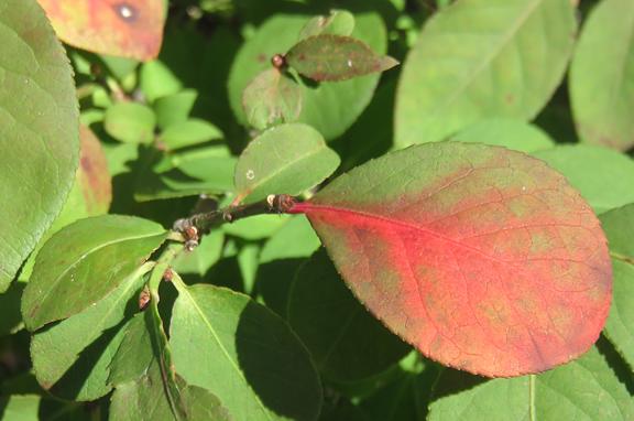 burning bush-leaf